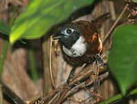 White-bibbed Babbler - Stachyris thoracica