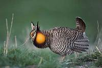 Greater Prairie-Chicken (Tympanuchus cupido) photo