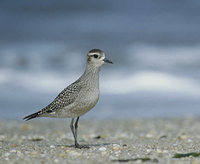 American Golden-Plover (Pluvialis dominica) photo