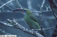 Groove-billed Toucanet - Aulacorhynchus sulcatus