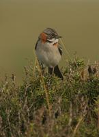 Rufous-collared Sparrow: Patagonian subspecies 'australis'