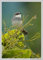 Grey-breasted Prinia (Prinia hodgsonii)