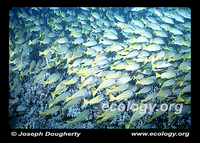 : Lutjanus kasmira; Blue-striped Snapper