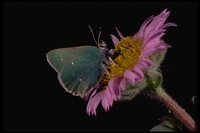 : Callophrys viridis; Green Hairstreak