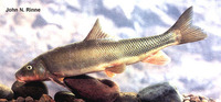 Catostomus bernardini, Yaqui sucker: