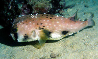 Lophodiodon calori, Four-bar porcupinefish: