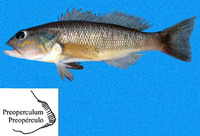 Diplectrum eumelum, Orange-spotted sand perch: