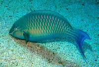Scarus collana, Red Sea parrotfish: fisheries