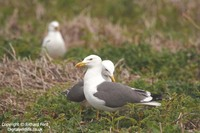 Larus fuscus - Lesser Black-backed Gull