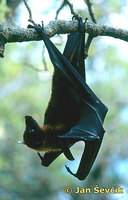 Pteropus vampyrus - Large Flying Fox