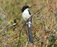 Image of: Lanius cabanisi (long-tailed fiscal)