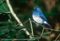 White-bellied Blue Flycatcher - Cyornis pallipes