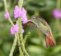 Rufous-tailed Hummingbird (Amazilia tzacatl) photo