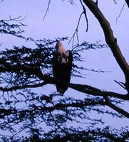African Fish-Eagle - Haliaeetus vocifer