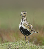 European Golden-Plover (Pluvialis apricaria) photo