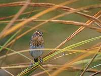 Nelson's Sharp-tailed Sparrow (Ammodramus nelsoni) photo
