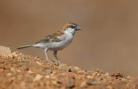 Cape Verde Sparrow (Passer iagoensis) photo