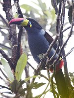 Gray-breasted Mountain-Toucan - Andigena hypoglauca