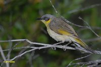 Gray-headed Honeyeater - Lichenostomus keartlandi