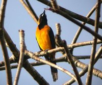 Yellow-backed Oriole - Icterus chrysater