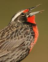 Long-tailed Meadowlark: male