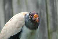 King Vulture (male)