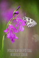 Marbled White ( Melanargia galathea ) on Marsh Gladiolus ( Gladiolus palustris ) stock photo