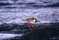 꼬까도요 Ruddy turnstone Arenaria interpres