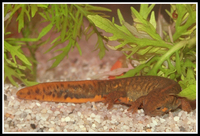 : Cynops cyanurus; Blue-tailed Fire-bellied Newt