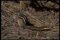 : Eutamias minimus; Least Chipmunk