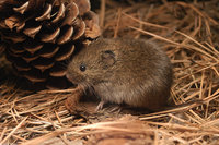 : Microtus pennsylvanicus pennsylvanicus; Meadow Vole