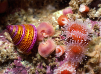 : Corynactis californica; Strawberry Anemone;
