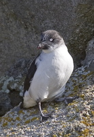 Least Auklet. Photo by Dave Kutilek. All rights reserved.