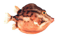 Anoplocapros lenticularis, White-barred boxfish: