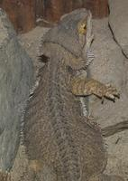 Image of: Pogona minor