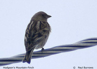 Plain Mountain Finch - Leucosticte nemoricola
