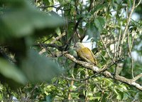 Olive Woodpecker - Dendropicos griseocephalus