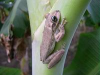 : Osteopilus dominicensis; Dominican Tree Frog