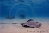 : Himantura jenkinsii; Pointed-nose Stingray