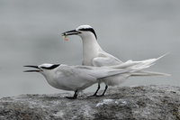 Black-naped Tern ( Sterna sumatrana )
