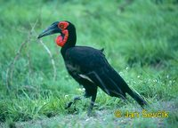 Photo of zoborožec kaferský, Bucorvus leadbeateri, Ground Hornbill, Hornrabe