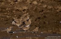 Larks - Bimaculated Lark ( Melanocorypha bimaculata ) and Greater Short-toed Lark (Calandrella b...