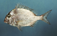 Calamus leucosteus, Whitebone porgy: fisheries