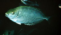 Siganus fuscescens, Mottled spinefoot: fisheries, aquaculture