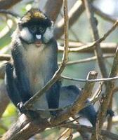 Image of: Cercopithecus ascanius (black-cheeked white-nosed monkey)