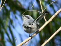 Image of: Polioptila dumicola (masked gnatcatcher)
