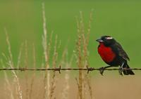 Image of: Sturnella superciliaris (white-browed blackbird)