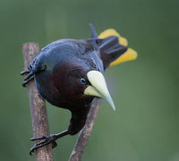 Chestnut-headed Oropendola (Psarocolius wagleri) photo