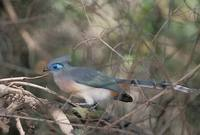 Crested Coua (Coua cristata) photo