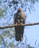 Ovampo Sparrowhawk - Accipiter ovampensis